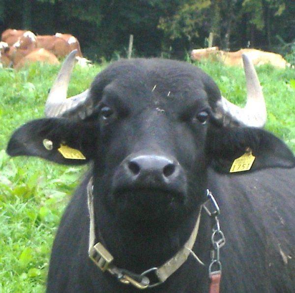 unsere bueffel beweiden extensivweiden zwecks artenvielfalterhalt bueffelmilch bueffelfleisch die laktierenden kuehe bleiben zuhause solange wir sie melken