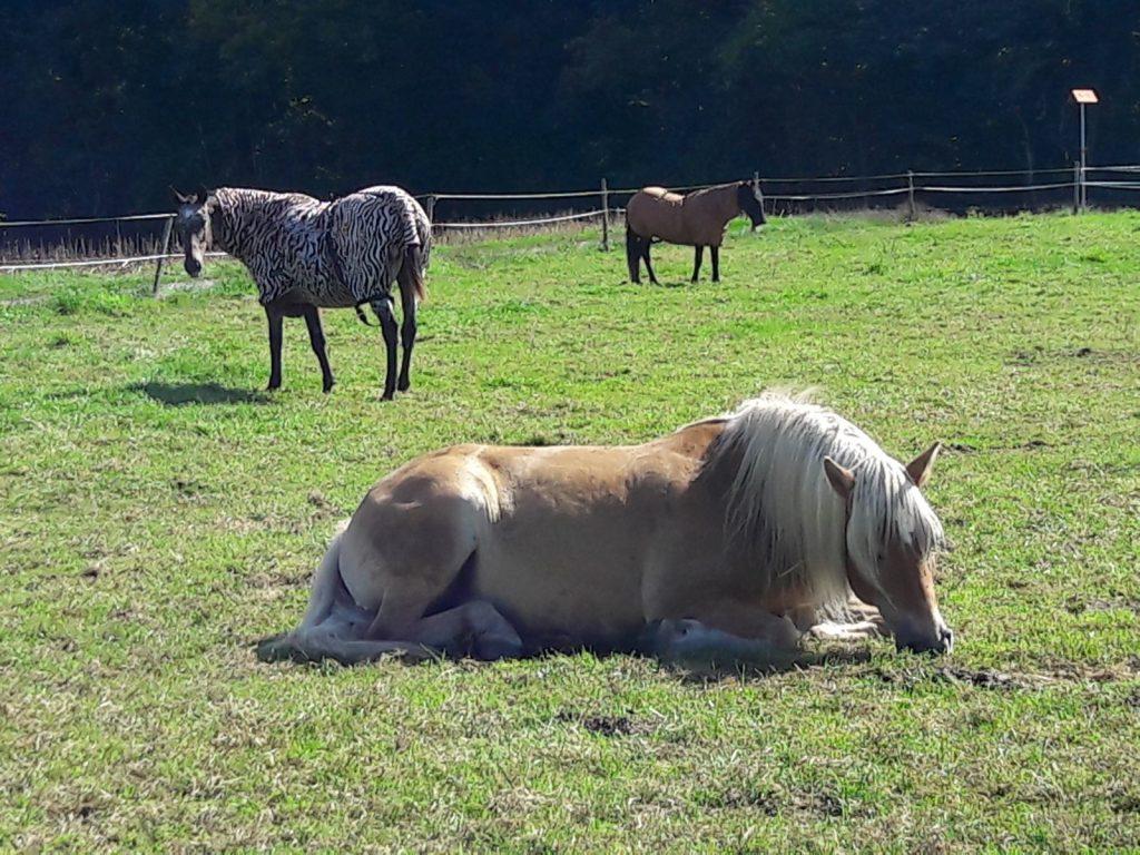 schöner sommertag pferdegruppenweide