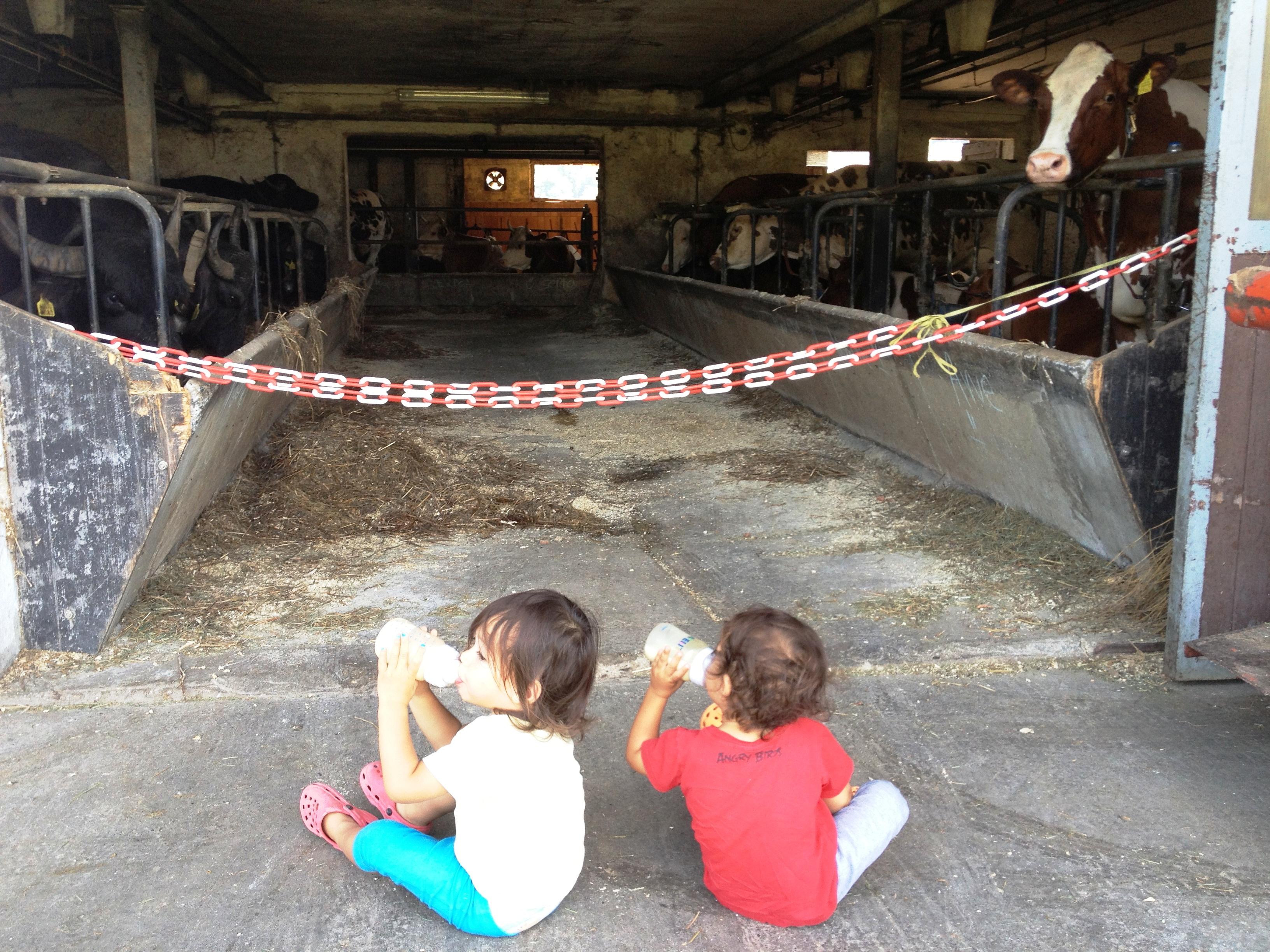 milchkonsum direkt aus dem milchautomaten unter dem strengen blick der kühe