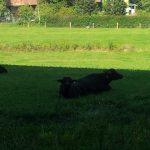 nsere bueffel beweiden extensivweiden zwecks artenvielfalterhalt bueffelmilch bueffelfleisch